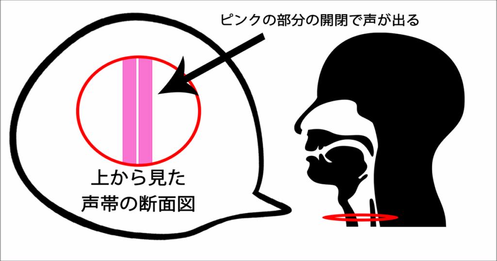 声帯の断面図画像
